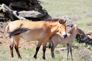 Les mythiques chevaux de Przewalski
